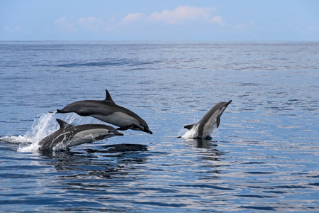 Common dolphins jumping, Costa Rica, Central America