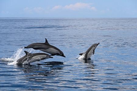 Gemeenschappelijke dolfijnen springen, Costa Rica, Midden-Amerika