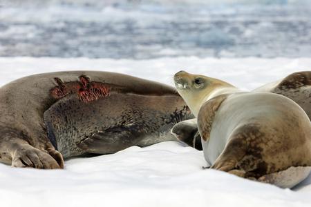 ice floe: Crabeater seals on ice floe, Antarctic Peninsula, Antarctica Stock Photo