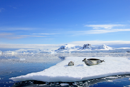 Crabeater seals on ice floe, Antarctic Peninsula, Antarctica Banque d'images