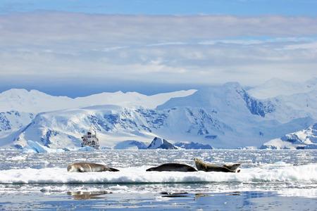 Crabeater seals on ice floe, Antarctic Peninsula, Antarctica Stock Photo
