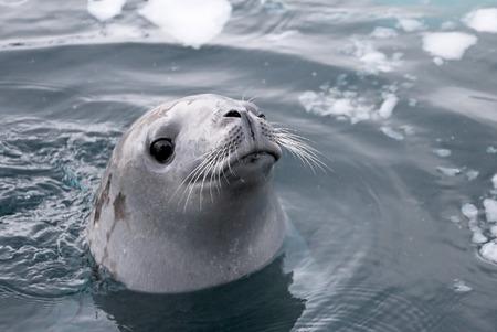 Phoque nageant et regardant mignon dans la péninsule antarctique, l'Antarctique