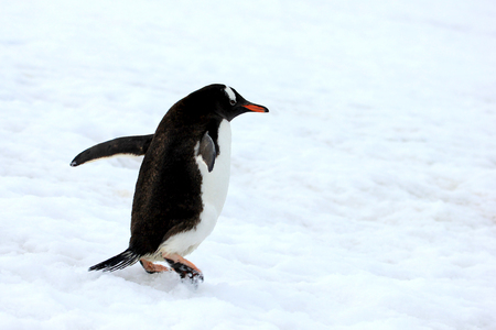 Gentoo penguin walking on snow in Antarctic Peninsula, Antarctica