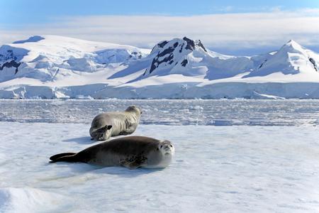 流氷、南極半島、南極のカニクイ シール