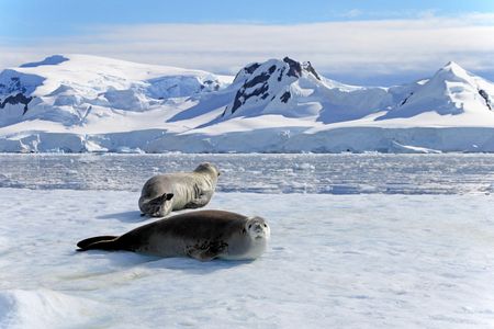 Crabeater seals on ice floe, Antarctic Peninsula, Antarctica Banco de Imagens