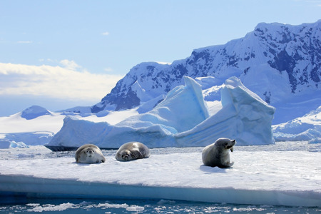 Crabeater seals on ice floe, Antarctic Peninsula, Antarctica Foto de archivo