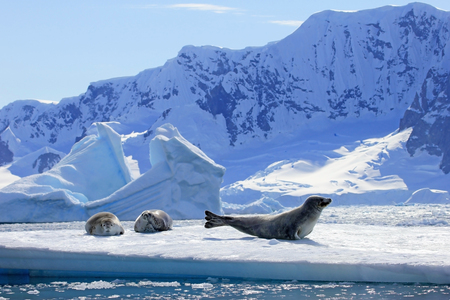 Crabeater seals on ice floe, Antarctic Peninsula, Antarctica Imagens