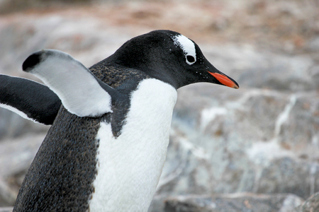 penguins on beach: Gentoo penguin, Pygoscelis Papua, Antarctic Peninsula Antarctica Stock Photo
