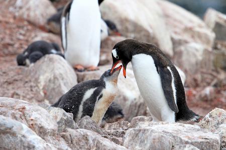 penguins on beach: Gentoo penguins, mother and chick, Pygoscelis Papua, Antarctic Peninsula Antarctica