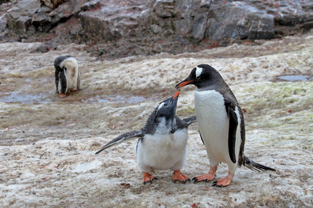 Gentoo penguins, mother and chick, Pygoscelis Papua, Antarctic Peninsula Antarctica