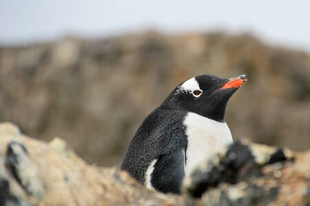 Gentoo penguin, Pygoscelis Papua, Antarctic Peninsula Antarctica Stock Photo