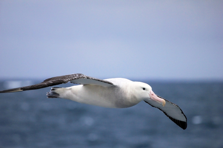 Flying Wandering Albatross, Snowy Albatross, White-Winged Albatross or Goonie, diomedea exulans, Antarctic ocean, Antarctica Фото со стока