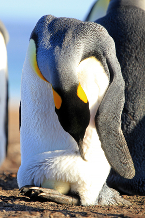King penguin with an egg between the feet, aptenodytes patagonicus, Saunders Falkland Islands Malvinas 版權商用圖片 - 83778945