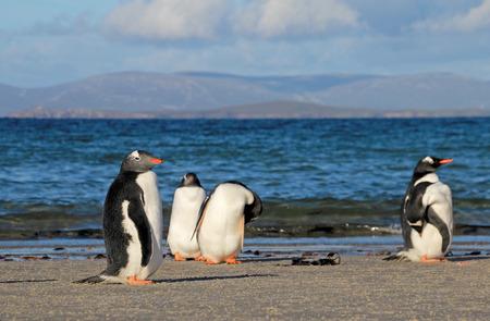 penguins on beach: Gentoo penguins, Pygoscelis Papua, Saunders Falkland Islands Malvinas