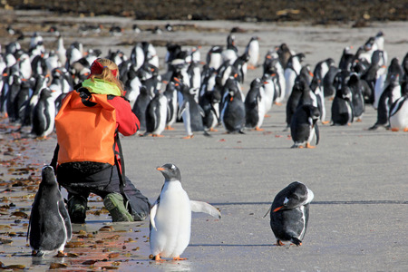 Photographer taking pictures of Gentoo penguins, Saunders, Falkland Islands, Malvinas