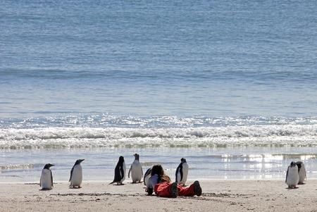 Woman watching the Gentoo penguins, Saunders, Falkland Islands, Malvinas Stock Photo