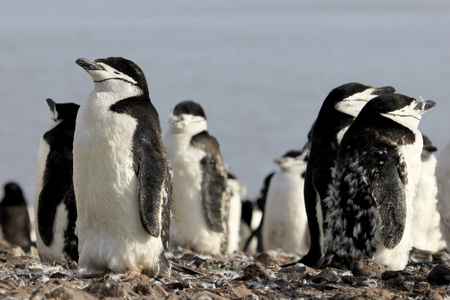 Wild chinstrap penguins standing on Antarctica Peninsula