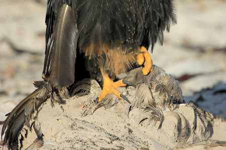 Striated Caracara, phalcoboenus australis, Falkland Islands Islas Malvinas Stock Photo