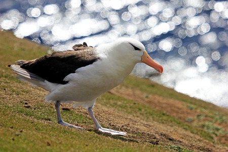 Black Browed Albatross, thalassarche melanophris, Falkland Islands, Islas Mavinas