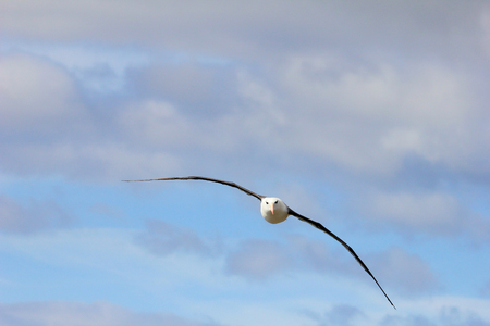 Flying Black Browed Albatross, thalassarche melanophris, Falkland Islands, Islas Mavinas