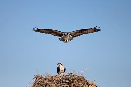 Osprey, Pandion haliaetus bird, Baja California Mexico America Stock Photo - 89031408