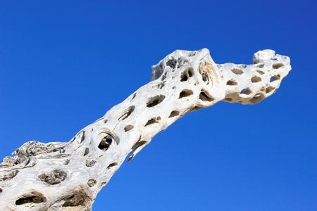 Dry giant cactus detail at the bay of San Ignacio Lagoon, Baja California, Mexico, North America