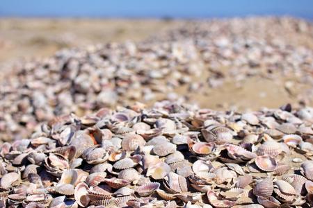 Seashells on the sand of a beach, Baja California, Mexico