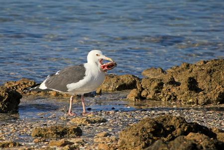 A Western Gull snacks on a big fish head, Baja California, Mexico, North America Stock Photo