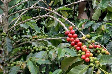 cafe colombiano: Coffee bean, coffee cherries or coffee berries on coffee tree, near El Jardin, Antioquia, Colombia, South America