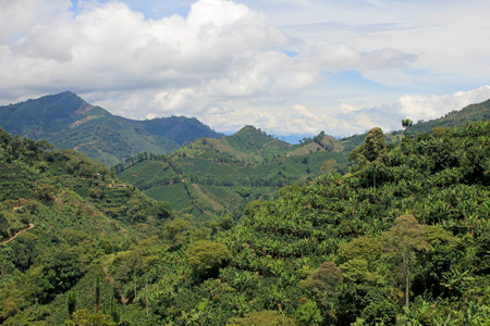 Landscape of coffee and banana plants in the coffee growing region near El Jardin, Antioquia, Colombia, South America Stock Photo