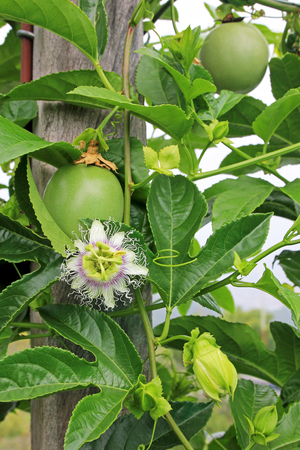 Passion fruit, Maracuja, Passiflora edulis, on the vine in plantations, near El Jardin, Antioquia, Colombia, South America