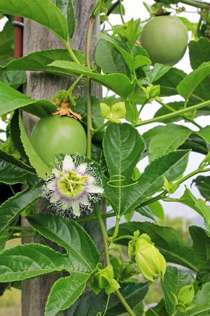 Fruta de la pasión, Maracuyá, Passiflora edulis, en la vid en plantaciones, cerca de El Jardín, Antioquia, Colombia, América del Sur