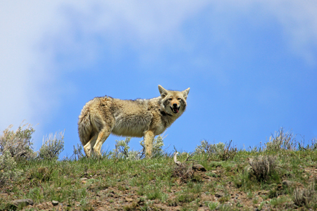 Beautiful Coyote, latin name Canis Latrans, in Yellowstone National Park, Wyoming, USA