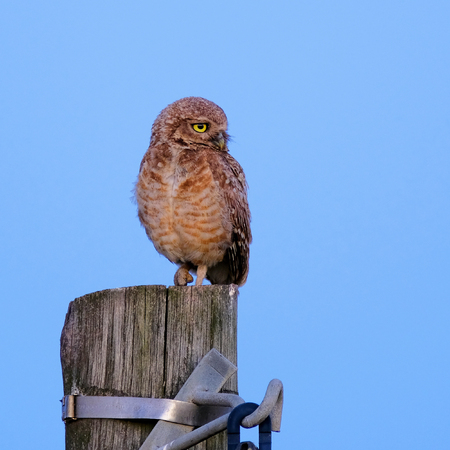 Burrowing Owl with yellow eyes, Athene Cunicularia, standing on a pole, nice blue sky background, with late evening light just before sunset, Uruguay, South America Stock Photo