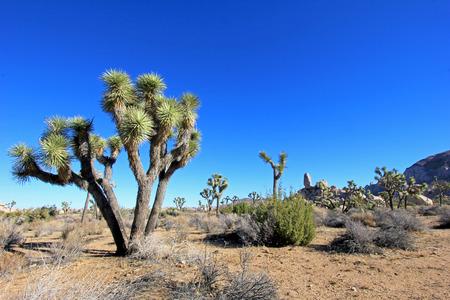 Landscape with joshua trees, Joshua Tree National Park, California, USA Stock Photo