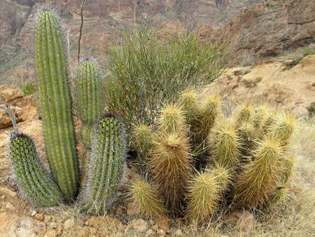 Different cactus species in Organ Pipe Cactus National Monument, Ajo, Arizona, USA