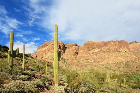 Organ Pipe and Saguaro cactuses in Organ Pipe Cactus National Monument, Ajo, Arizona, USA