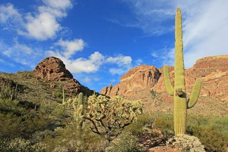 Organ Pipe, Saguaro and Ocotillo cactuses in Organ Pipe Cactus National Monument, Ajo, Arizona, USA Stock Photo
