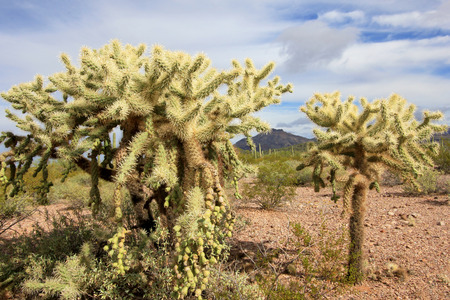 Chain Fruit Cholla cactus in Organ Pipe Cactus National Monument, Ajo, Arizona USA Stock Photo