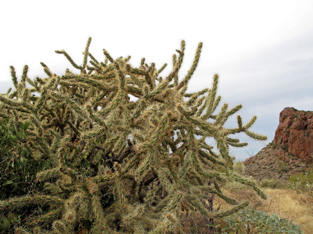 Chain Fruit Cholla cactus in Organ Pipe Cactus National Monument, Ajo, Arizona USA Stock Photo