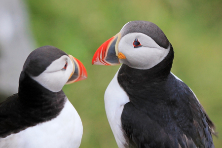 Atlantic Puffin, fratercula arctica, Runde Island Norway Europe Imagens - 101431824