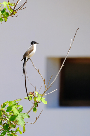 Tyrannus tyrannus stock photos royalty free tyrannus tyrannus images beautiful fork tailed flycatcher tyrannus savana perched on a branch uruguay thecheapjerseys Gallery