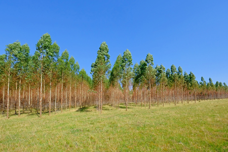 Plantation of Eucalyptus trees for paper or timber industry, Uruguay, South America. This kind of monoculture also takes place in Argentina, Chile and Brazil.