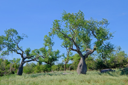 Beautiful huge ceiba trees, chorisia insignis, and landscape of Gran Chaco, Paraguay, South America