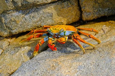 Beautiful Sally Lightfoot Crab, Grapsus grapsus, on rocks, Pacific Ocean Coast, Tocopilla, Chile, South America