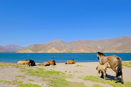 Wild horses at the dam of the Embalse Puclaro lake, Vicuna, Elqui valley, IV Region De Coquimbo, Chile, South America