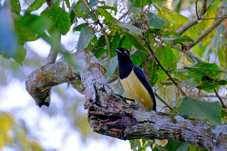 Plush-crested Jay, Cyanocorax chrysops, family Corvidae, a yellow and black colored jay, perched on a branch in the forest, Iguazu Falls, Brazil, South America
