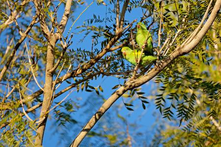 Yellow-chevroned Parakeet, Brotogeris Chiriri, native to tropical South America, Mato Grosso Do Sul, Brazil, South America Imagens