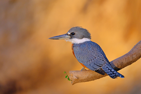 Male Ringed Kingfisher, Megaceryle Torquata, a large, conspicuous and noisy kingfisher bird, Mato Grosso, Pantanal, Brazil, South America. Also found in southern USA, Central America, South America Imagens