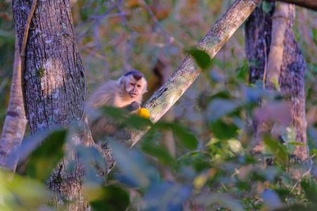 Azarass Capuchin or Hooded Capuchin, Sapajus Cay, Simia Apella or Cebus Apella, eating a fruit in the nature habitat, Mato Grosso, Pantanal, Brazil, South America